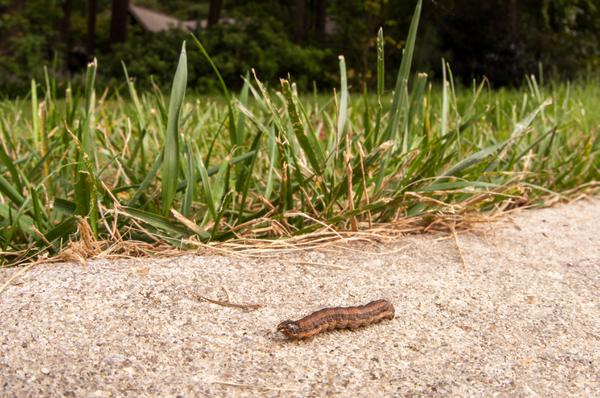 Fall Armyworm: identifying and controlling